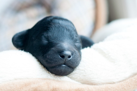 muzzle of a newborn puppy of a black poodle close-up Stock Photo