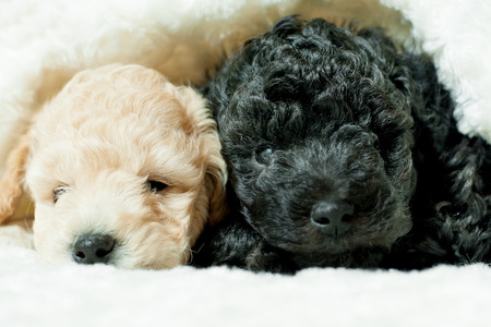 two puppies of poodle breed black and beige lie on a white coverlet Stock Photo