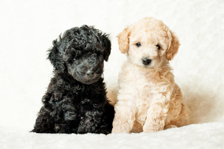 two puppy beige and black poodle breeds are sitting on a white background