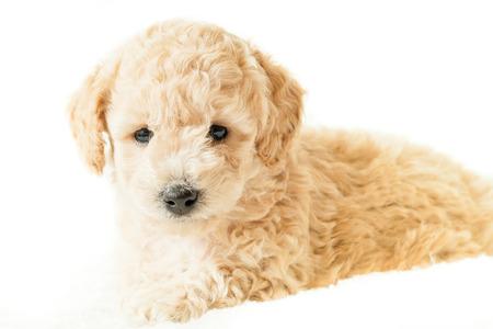 beige puppy lies on a white blanket on a white background