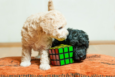 black and beige puppy playing with cube rubik on orange cushion
