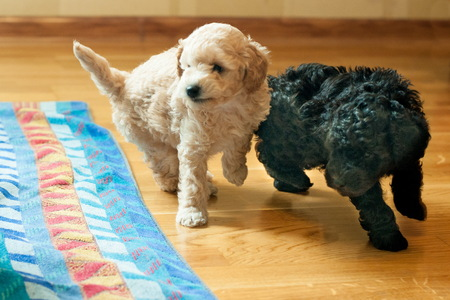two puppies black and beige playing with each other in the room