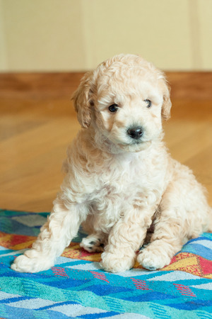 beige puppy sitting on a multicolored litter indoors