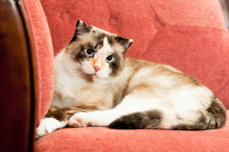 cat breed of lop-eared close up with unfriendly muzzle Stock Photo