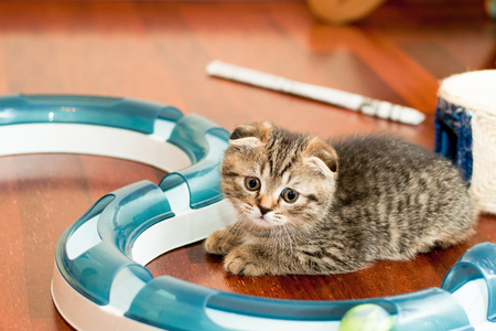 a beautiful little gray kitten in the room sits near the toy