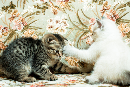 Two beautiful kittens play indoors