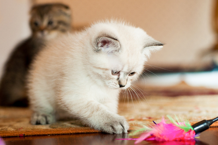 Gray and white kitten playing with a toy in the room