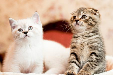 beautiful gray and white kitten sitting and posing