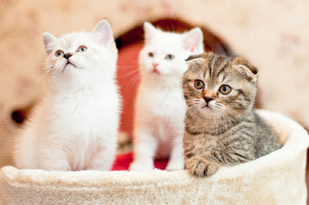 three kittens two white and one gray are sitting indoors Stock Photo