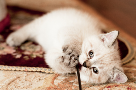 beautiful little kitten of white color in the room looks around