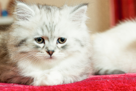 a beautiful little fluffy kitten indoors sits and looks sideways