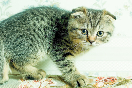 nice little gray kitten sits in a room and looking away