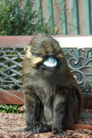 beautiful adult monkey sitting on a bench on a bright day