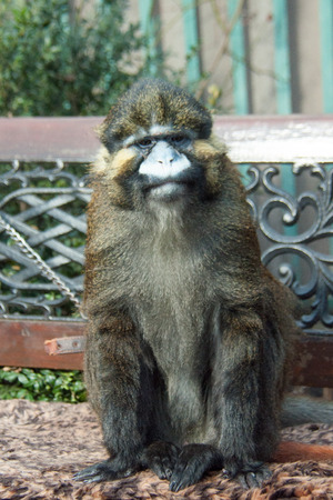 Beautiful adult monkey sitting on a bench on a bright day Stock Photo