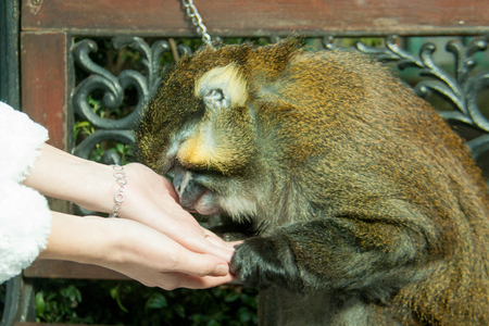 a beautiful big monkey snuggled up to the womens hands