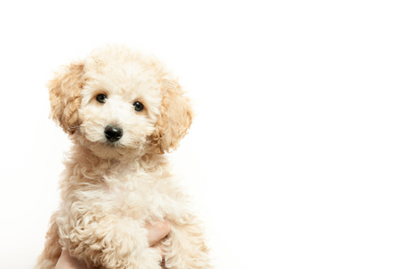 beautiful beige puppy poodle on white background