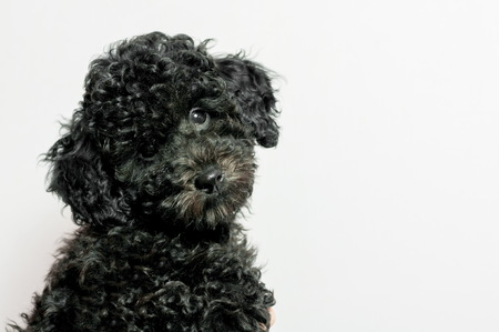 beautiful black puppy of a poodle on a white background