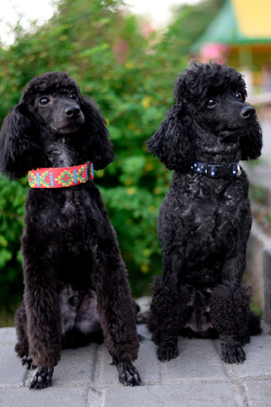 two sitting black poodles are looking aside Stock Photo