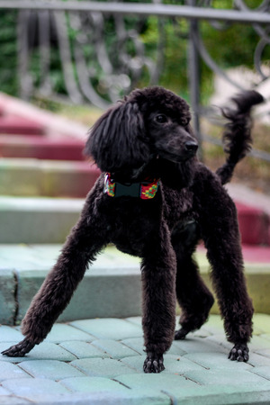 playful handsome young black poodle outdoors