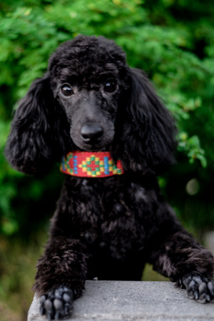 black young poodle on a green background Stock Photo