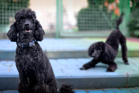 sitting black poodle on the background of a playful black poodle