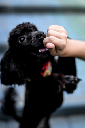 girl feeds and plays with a black poodle
