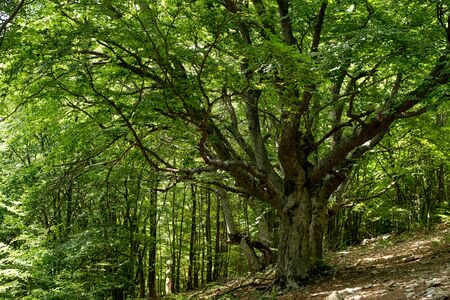 unusual beech tree on a sunny summer day Stock Photo