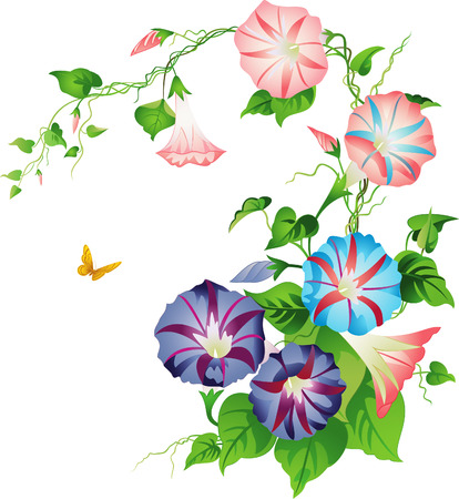 wildflowers: Morning glory Illustration