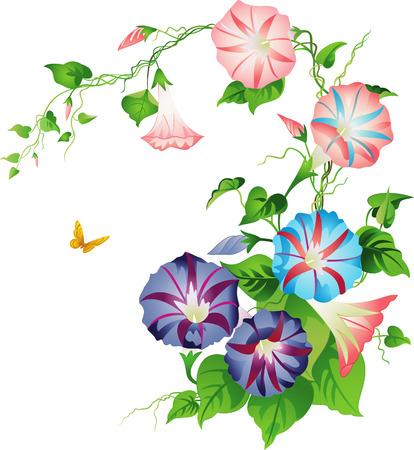 fleurs des champs: Volubilis Illustration