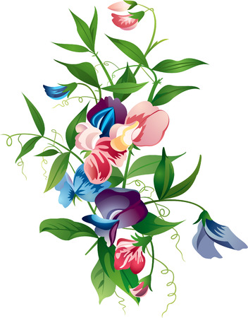 sweet pea: Sweet pea flower Illustration