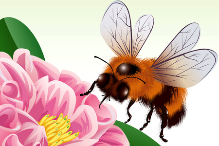 apiculture: Bee is flying to a flower