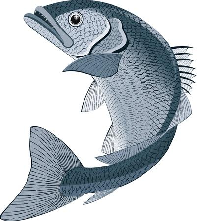cernia: Illustrazione di un pesce su sfondo bianco