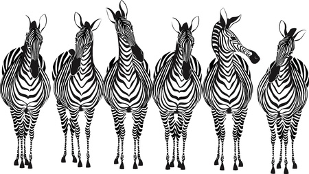 Group of zebras standing in a row isolated on white background