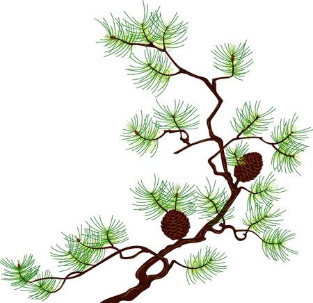 pomme de pin: Branche de pin isol�e sur fond blanc Illustration