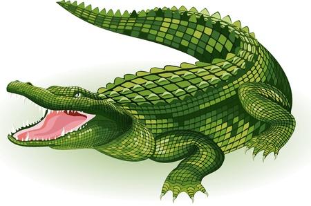 cocodrilo: Ilustraci�n vectorial de un cocodrilo sobre fondo blanco