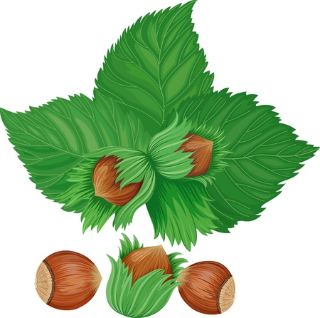 filbert nut: hazelnuts isolated over white background Illustration