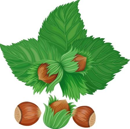 filberts: hazelnuts isolated over white background Illustration