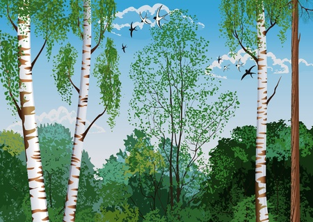 arboleda: Paisaje con troncos de los abedules y árboles de pino en el primer plano y las siluetas de árboles diferentes en el fondo