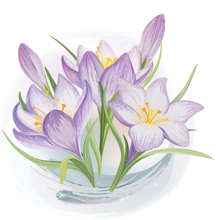 thaw: Blooming crocuses in the snow Illustration