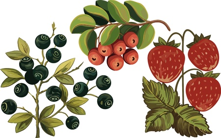 Huckleberry, strawberry and foxberry isolated over white background Vector