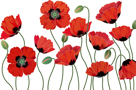 poppy field: Amapolas rojas aislados sobre fondo blanco