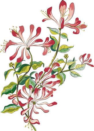 dessin fleur: Direction d'un ch�vrefeuille de floraison isol� sur fond blanc