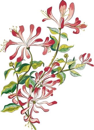 Branch of a flowering honeysuckle isolated on white background Illustration