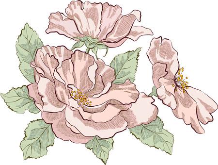 dog rose: Dog rose isolated on white background