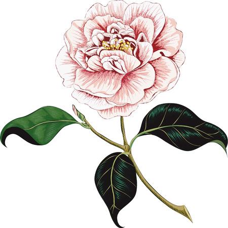 Camellia bloem geïsoleerd op een witte achtergrond Stock Illustratie