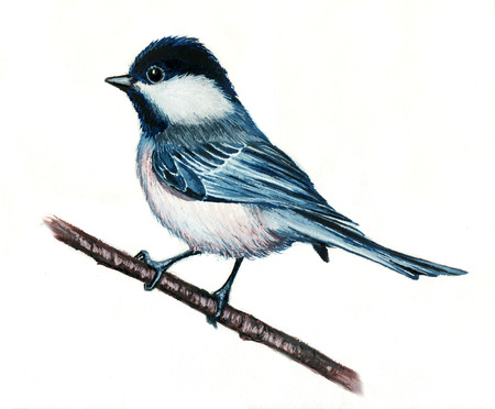 tit: Watercolor illustration of a blue tit on a white background