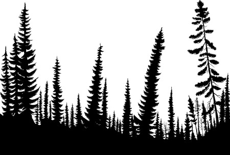 coniferous forest: Siluetas de árboles de abeto en un bosque de coníferas