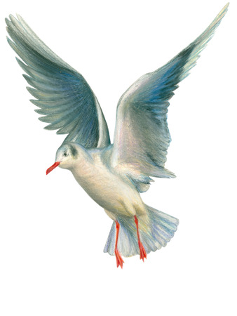 one people: Seagull drawn with colored pencils on a white background