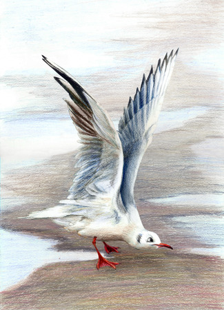 sea gull: Sea gull standing on wet sand with raised wings. Color pencils illustration
