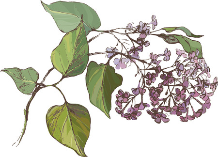 botanical gardens: illustration blooming branch of lilac